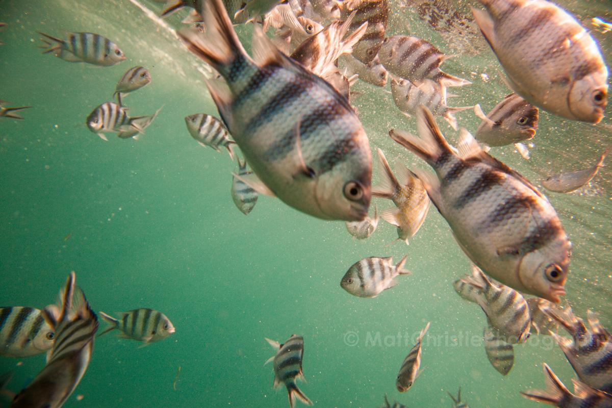 Fiji Fish